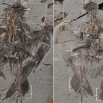 Scoperto in Cina il più antico antenato degli uccelli