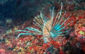 Specie aliene nel Mediterraneo: i 'lionfish'