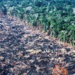 WWF denuncia: è la soia per il bestiame che uccide l'Amazzonia
