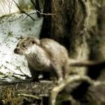Continuano le segnalazioni di lontra in Abruzzo
