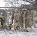 Emergenza lupi in Siberia, esperti discordano sulla mattanza