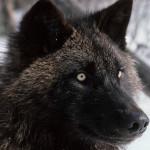 Ibridi cane-lupo: res publica o res privata?