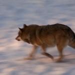Sulle tracce del lupo appenninico
