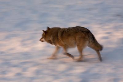San Valentino sulle tracce del lupo appenninico