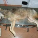 """Strage di lupi in Maremma, Coldiretti: """"Rinchiudere i lupi nelle aree protette"""""""