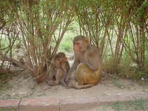 I macachi comprendono le relazioni di parentela