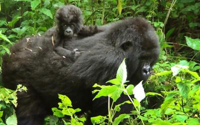 Gorilla virunga park