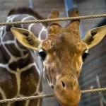 Un altro caso Marius in Danimarca: un'altra giraffa potrebbe essere soppressa