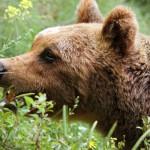 Orso marsicano: incontro fra Salviamo l'Orso e Autostrada dei Parchi