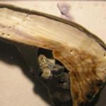 Molluschi con gusci più sottili a causa degli oceani sempre più acidi