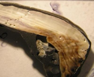 molluschi-sezione