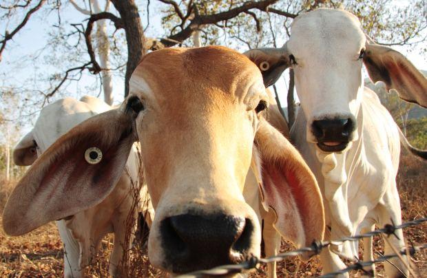 Mucche e filo spinato