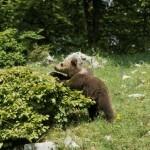 """""""L'orso marsicano è il nostro gorilla di montagna"""": <br> i volontari del WWF al lavoro in Abruzzo"""