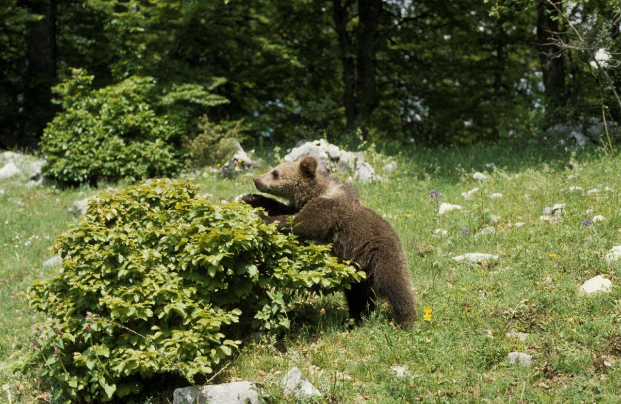 Bacche e frutti, alimenti importanti per gli orsi che si preparano al letargo invernale Giovane orso nel Parco d'Abruzzo  © V. Mastrella Archivio Parco Nazionale d'Abruzzo, Lazio e Molise