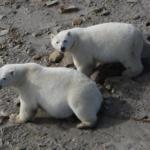 Gli orsi polari sopravviveranno alla fusione dei ghiacci cambiando alimentazione