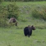 Orso marsicano: forse un nucleo riproduttivo al Parco della Majella