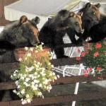 Abruzzo: salviamo l'orsa Gemma?