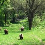 Orso marsicano: morto un cucciolo e nuovi casi di tubercolosi bovina nel Parco
