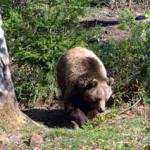 """Allarme tubercolosi per l'orso marsicano: si creerà """"area speciale"""""""