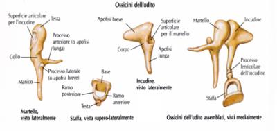ossa-udito