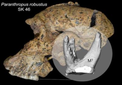 P. robustus del Sudafrica; età stimata 1,9-1,5 milioni di anni. In evidenza, il primo molare superiore, ricostruito virtualmente (crediti: Kornelius Kupczik, Max Planck Institute for Evolutionary Anthropology)