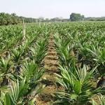 Palma da olio: i diritti calpestati delle popolazioni indigene