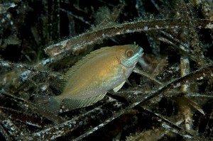 'Cavalli di Troia' del mare: pesci che portano con sé specie aliene invasive