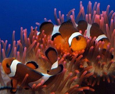 Pesce pagliaccio in una barriera corallina