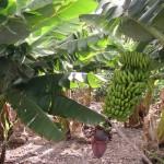 Nuovo materiale ecologico da residui delle piantagioni di banane