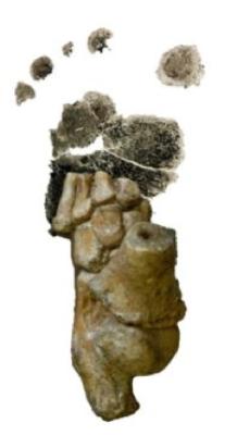 Piede fossile di un piccolo Australopithecus afarensis, di 3,32 milioni di anni fa, rinvenuto in Etiopia, sovrapposto all'impronta di un bambino umano (Crediti: Jeremy De Silva)