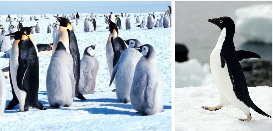Pinguini genoma diverso rivela l adattamento al clima - Pinguini di natale immagini ...