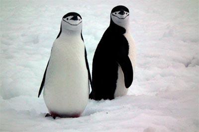 Una coppia di pinguini antartici (chinstrap)