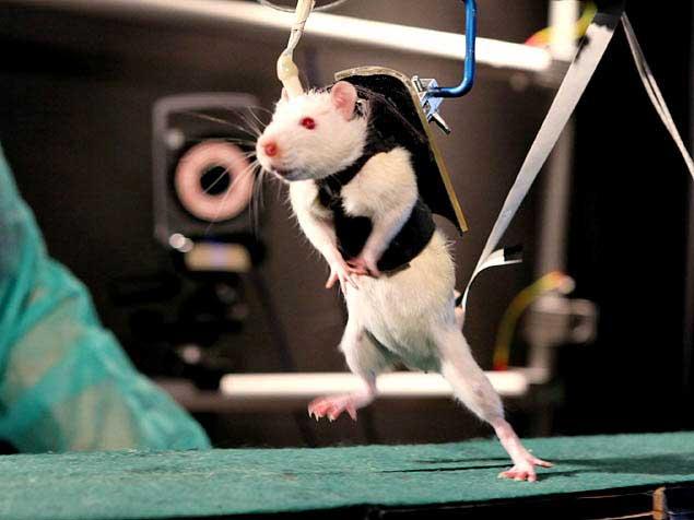 Ratti paralizzati tornano a camminare