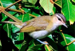 Il vireone (Vireonidae), uccello passeriforme diffuso nel continente americano, cambia il suo comportamento migratorio a causa dei cambiamenti climatici
