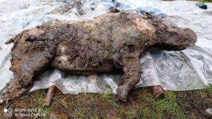 Scoperta in Siberia la carcassa di un rinoceronte lanoso