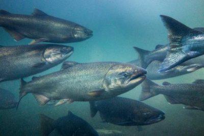 Salmoni. Il nuovo organismo parassita vive nei loro muscoli (Immagine di repertorio)