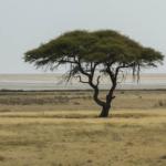 Più piogge, meno alberi: l'enigma della savana