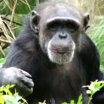 Sconvolgente comportamento di un gruppo di scimpanzè