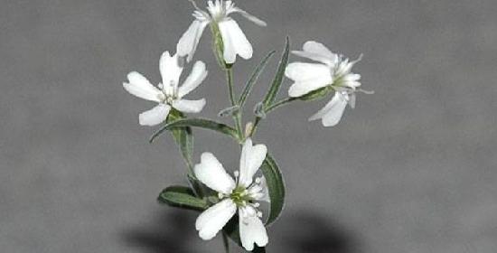 Silene Stenophylla dell'era glaciale riportata in vita