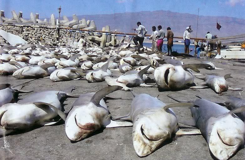 Squali pescati per le loro pinne sono in pericolo di estinzione