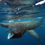 Pescato squalo elefante in Sardegna, morto in una rete da pesca