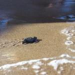 Fiocco rosa in Maremma: 63 tartarughe marine prendono il largo