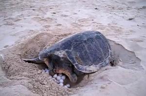 Tartaruga depone uova in Sicilia