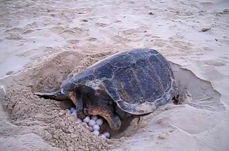 Video tartaruga marina depone le uova sotto lo sguardo for Deposizione uova tartarughe terrestri