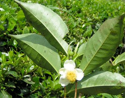 Fiore di tè verde