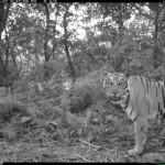 """Le tigri imparano a fare il """"turno di notte"""" per convivere con gli umani"""