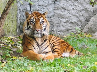 Tigre di Sumatra in uno zoo