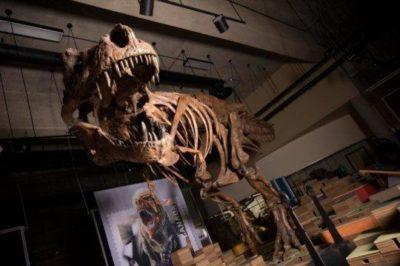 Esposizione dello scheletro di Scotty, il gigantesco T-rex che i paleontologi dell'Università dell'Alberta, in Canada, ritengono il più grande mai rinvenuto finora (crediti: Amanda Kelley)