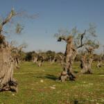 Epidemia senza precedenti minaccia gli ulivi in Puglia <br> Esperto: forse un mix di tre patogeni a provocare la malattia