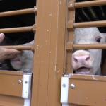 Il commercio crudele degli animali esportati fuori dall'Unione europea (Video)
